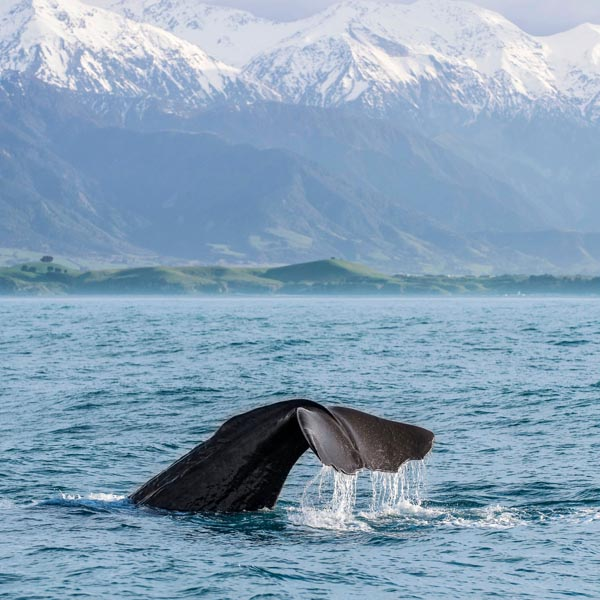 Walvissen Kaikoura Nieuw Zeeland