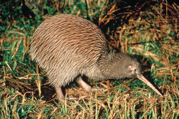 Kiwi Nieuw Zeeland