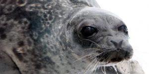 Zeehond Nieuw Zeeland