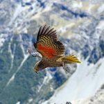 Vliegende Kea, Nieuw Zeeland