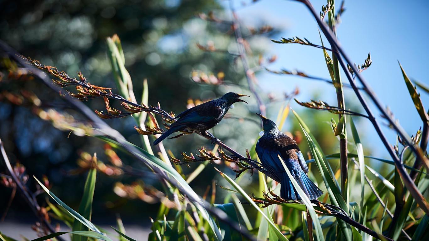 Tui vogel Nieuw Zeeland