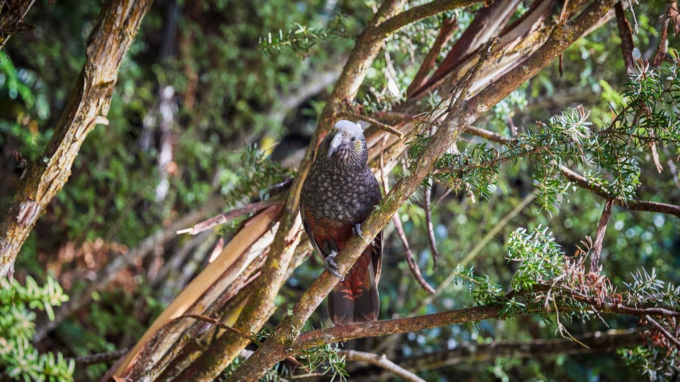 Vogels Nieuw Zeeland